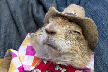 Special pet prairie dog,Cap, cute, sleep
