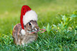 Cottontail bunny with Chistmas hat and candy cane