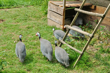 guineafowl in the farm of Canon castle in Normandie