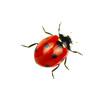 Leinwanddruck Bild - Ladybug