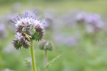 Biene an Büschelschön / bee on  lacy phacelia