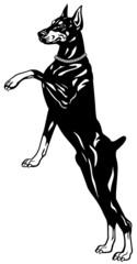 doberman black white