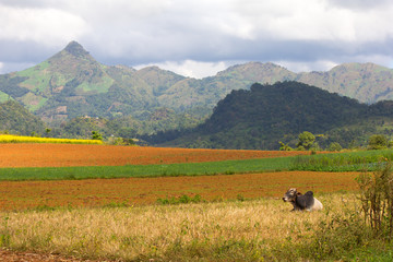 zebu cow and plowed fields, hills and mountains in the backgroun