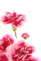 Pink and white bicolor carnation on white background