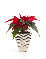 Special Christmas plant Poinsettia