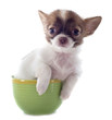 puppy chihuahua in a cup