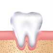 Healthy white tooth, gums and bone