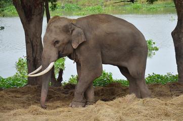 Thai Elephants at Ayutthaya Elephant Camp Thailand