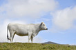 White cow pyrenees