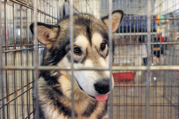malamute en cage