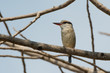 Striped Kingfisher (Halcyon chelicuti)