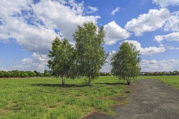 three birche trees at the Tempelhofer Feld, Berlin Germany