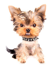 Portrait of dog with spiked collar