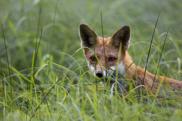 Fox hunting in the grass