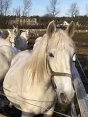 Kladruber white horse