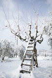 ladder leaning against  olive tree in the snow