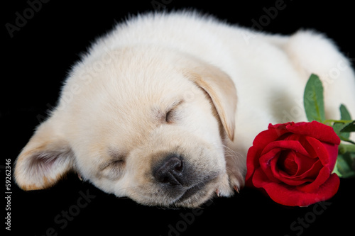 Labrador puppy sleeping on black with red rose