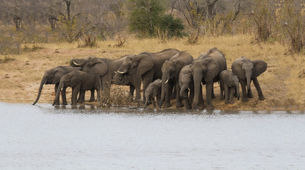 Breeding herd of elephant drinking water at a water dam