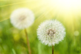 sunny meadow with dandelions - 59263937