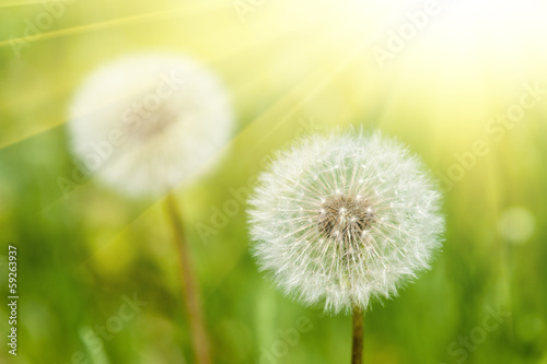 Foto op Aluminium Paardebloem sunny meadow with dandelions