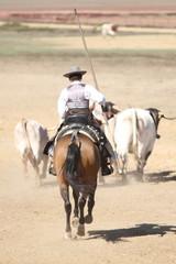 Spanischer Reiter treibt Rinder