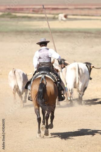 Spanischer Reiter treibt Rinder - 59266395