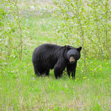 Black bear by Medicine lake. Jasper National park.