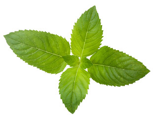 Fresh leaf spearmint on white background
