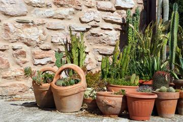 cacti in clay pots