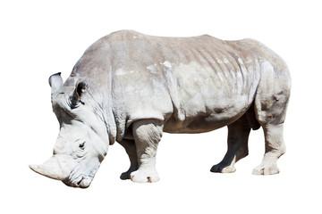 rhinoceros over white