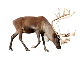 reindee over white