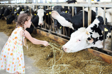 Cute little girl in dress gives hay for cow in long stall.