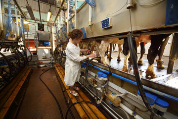 Woman in white robe operates machine for milking of cows