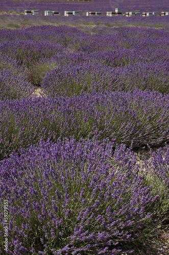 lavande,abeille,Culture, provence, Apiculture, ruches, Apt, 84