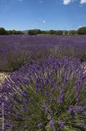 lavande,abeille,Culture, provence, Apiculture, ruches, Apt ,84