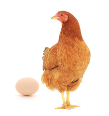 brown hen with egg