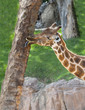 Close up of a Giraffe Eating