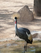 Grey Crowned Crane wading