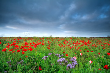 field with many red poppy flowers