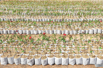 Field of nursery roses