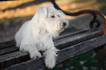 Miniature schnauzer on bench