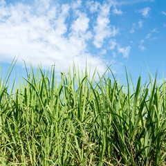 Sugarcane and blue sky