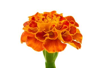 marigolds isolated