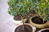 Jeunes oliviers en pot sur une terrasse en Provence