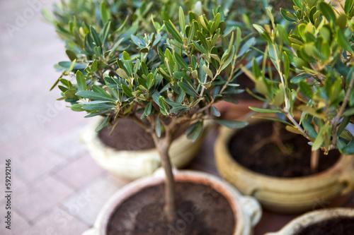 Keuken foto achterwand Olijfboom Jeunes oliviers en pot sur une terrasse en Provence