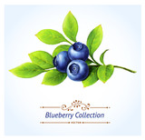 Blueberry branch, leaves and berries. Vector illustration.