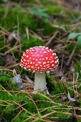 Fly agaric (Amanita muscaria) in forest