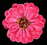 red gerbera on  background