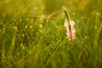 Drops of dew on the grass of summer sunset