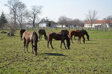 Horses grazing in a paddock Ljubičevo, Serbia